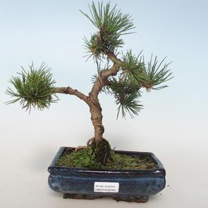 Vonkajšie bonsai - Pinus mugo Humpy - Borovica Marhuľa 408-VB2019-26793