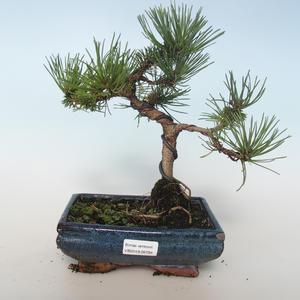 Vonkajšie bonsai - Pinus mugo Humpy - Borovica Marhuľa 408-VB2019-26794
