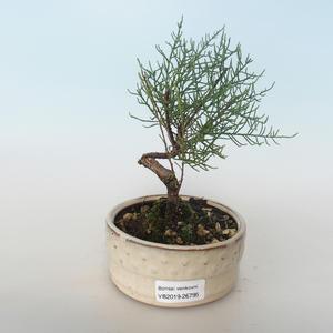 Venkovní bonsai - Tamaris parviflora Tamaryšek malolistý 408-VB2019-26795