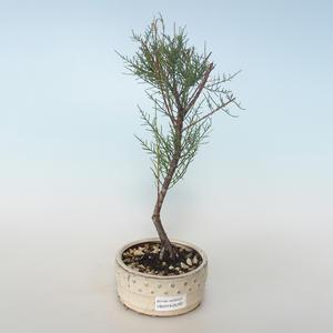 Venkovní bonsai - Tamaris parviflora Tamaryšek malolistý 408-VB2019-26797