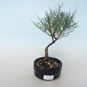 Venkovní bonsai - Tamaris parviflora Tamaryšek malolistý 408-VB2019-26799