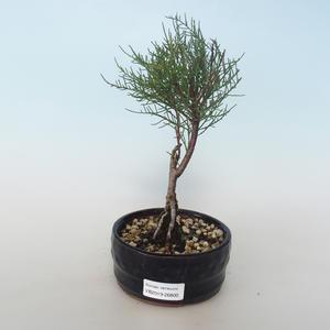 Vonkajšie bonsai - Tamaris parviflora Tamariška malolistá 408-VB2019-26800