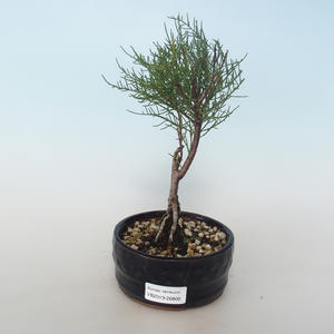 Venkovní bonsai - Tamaris parviflora Tamaryšek malolistý 408-VB2019-26800