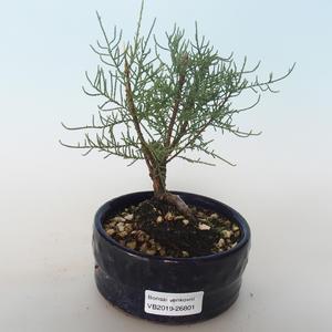 Venkovní bonsai - Tamaris parviflora Tamaryšek malolistý 408-VB2019-26801