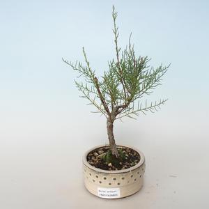 Venkovní bonsai - Tamaris parviflora Tamaryšek malolistý 408-VB2019-26803