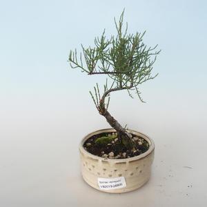 Venkovní bonsai - Tamaris parviflora Tamaryšek malolistý 408-VB2019-26805
