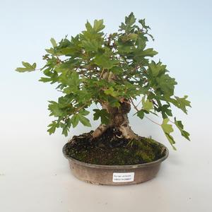 Vonkajšia bonsai-Acer campestre-Javor poľný 408-VB2019-26807