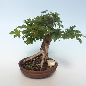 Vonkajšia bonsai-Acer campestre-Javor poľný 408-VB2019-26808