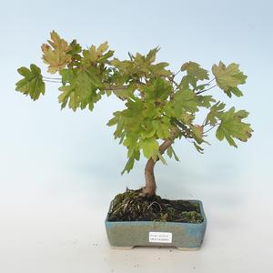 Vonkajšia bonsai-Acer campestre-Javor poľný 408-VB2019-26809