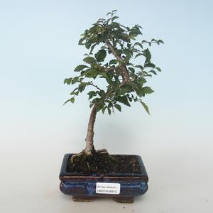 Venkovní bonsai-Ulmus parvifolia-Malolistý jilm 408-VB2019-26812