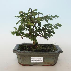 Venkovní bonsai-Ulmus parvifolia-Malolistý jilm 408-VB2019-26813