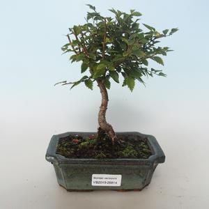 Venkovní bonsai-Ulmus parvifolia-Malolistý jilm 408-VB2019-26814