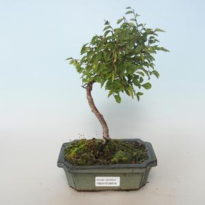 Venkovní bonsai-Ulmus parvifolia-Malolistý jilm 408-VB2019-26816