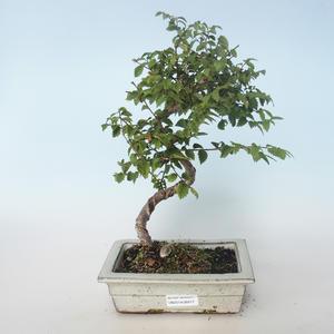 Venkovní bonsai-Ulmus parvifolia-Malolistý jilm 408-VB2019-26817