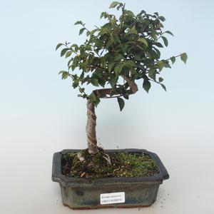 Venkovní bonsai-Ulmus parvifolia-Malolistý jilm 408-VB2019-26818