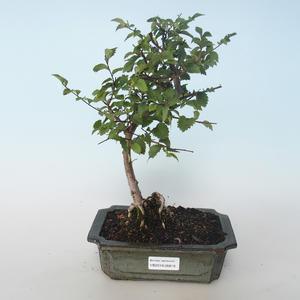 Venkovní bonsai-Ulmus parvifolia-Malolistý jilm 408-VB2019-26819