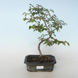 Venkovní bonsai-Ulmus parvifolia-Malolistý jilm 408-VB2019-26820