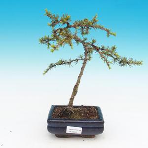 Venkovní bonsai - Cedrus libani Braviofolia