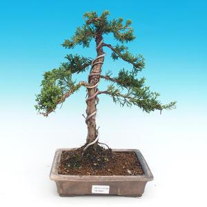 Vonkajšie bonsai - Juniperus chinensis -Jalovec čínsky