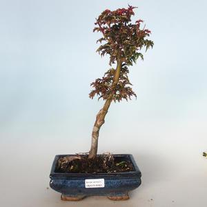 Vonkajšie bonsai - Acer palmatum SHISHIGASHIRA- Javor malolistá VB-26954