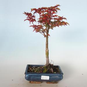 Vonkajšie bonsai - Acer palmatum SHISHIGASHIRA- Javor malolistá VB-26955