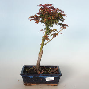 Vonkajšie bonsai - Acer palmatum SHISHIGASHIRA- Javor malolistá VB-26957