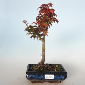 Vonkajšie bonsai - Acer palmatum SHISHIGASHIRA- Javor malolistá VB-26959