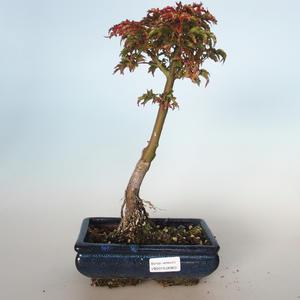Vonkajšie bonsai - Acer palmatum SHISHIGASHIRA- Javor malolistá VB-26963