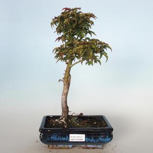 Vonkajšie bonsai - Acer palmatum SHISHIGASHIRA- Javor malolistá VB-26966