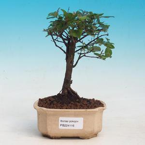 Pokojová bonsai - Sagerécie thea - Sagerécie thea