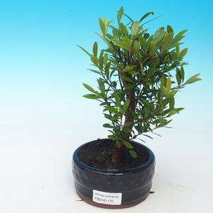 Izbová bonsai - Syzygium - pimentovníka
