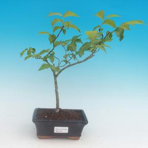 Vonkajší bonsai -Ulmus GLABRA - Brest horský