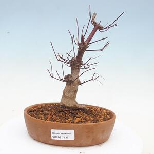 Venkovní bonsai - Javor palmatum DESHOJO - Javor dlanitolistý