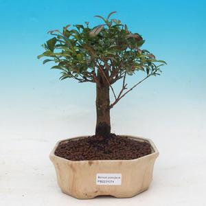 Izbová bonsai - Austrálska čerešňa - Eugenia uniflora