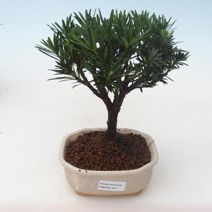 Pokojová bonsai - Podocarpus - Kamenný tis PB2191757
