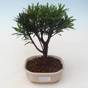 Pokojová bonsai - Podocarpus - Kamenný tis PB2191758