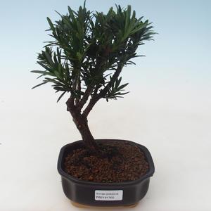 Pokojová bonsai - Podocarpus - Kamenný tis PB2191760