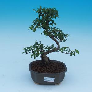 Pokojová bonsai -Ligustrum chinensis - Ptačí zob