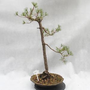 Vonkajší bonsai -Borovice lesná - Pinus sylvestris