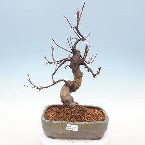 Venkovní  bonsai -  Pseudocydonia sinensis - Kdouloň čínská