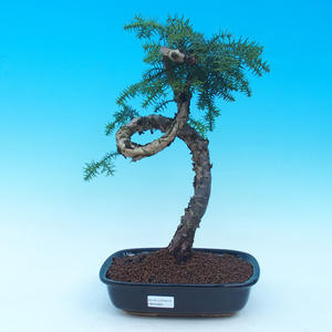 Pokojová bonsai - Araukarie - pokojový smrček