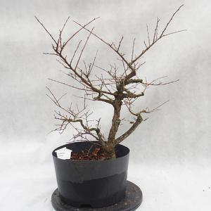 Vonkajší bonsai -jilm malo - lišty - Ulmus parviflora