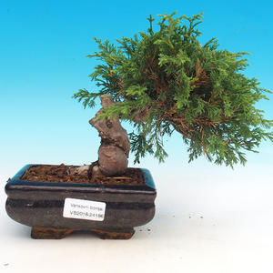 Venkovní bonsai - Juniperus chinensis Itoigawa-Jalovec čínský