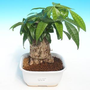 Pokojová bonsai - Olea europaea - Oliva evropská