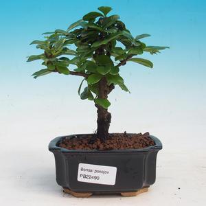 Izbová bonsai - Carmona macrophylla - Čaj fuki