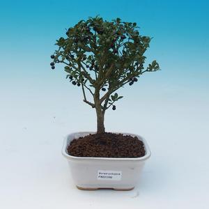 Servis bonsai - Ilex crenata - Cezmína