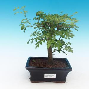 Izbová bonsai - Fraxinus uhdeii - izbový Jaseň