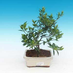 Pokojová bonsai - Gardenia jasminoides-Gardenie