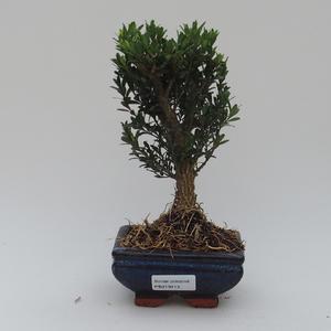 Pokojová bonsai - Buxus harlandii -korkový buxus