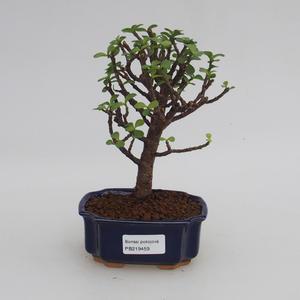 Pokojová bonsai - Portulakaria Afra - Tlustice